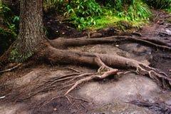 raíz del pino Foto de archivo libre de regalías