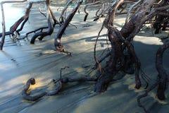 Raíz del roble del mar en la playa de la correa de Nang Phang Nga, Tailandia Fotografía de archivo