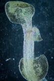 Raíz del thaliana del arabidopsis del micrográfo Foto de archivo libre de regalías