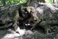 Raíz descubierta de un árbol foto de archivo