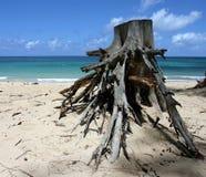 Raíz en la playa del paia Imagen de archivo