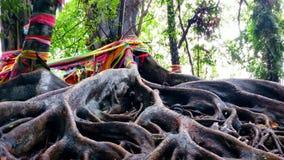 Raíz grande del árbol Foto de archivo