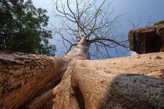 Raíz grande del baniano que cubre el prasat de piedra TA Prohm en Angkor Thom fotografía de archivo