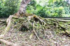 Raíz grande del scape de la tierra del baniano de la pagoda antigua y vieja en el templo de Ayuthaya, central de la historia del  Imagenes de archivo