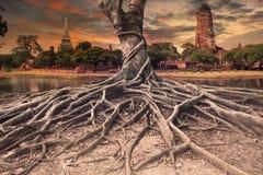 Raíz grande del scape de la tierra del baniano de la pagoda antigua y vieja adentro Fotos de archivo libres de regalías