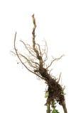 Raíz marrón seca de la planta Imagen de archivo libre de regalías