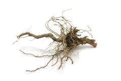 Raíz seca de la planta Fotografía de archivo libre de regalías
