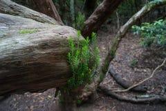 Raíz y musgo del árbol en Grecia Foto de archivo libre de regalías