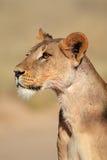 raźna lwica zdjęcia royalty free