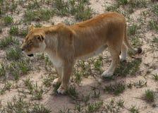 Raźna lwica na obszarach trawiastych zdjęcia royalty free