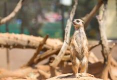 Raźna meerkat pozycja na strażniku Zdjęcie Royalty Free