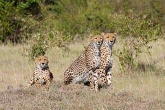 Raźni gepardy w Masai Mara, Kenja fotografia stock