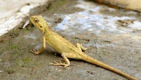 Raźny żółty kameleon Fotografia Stock