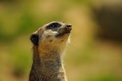 Raźny meerkat ogląda upwards portret obrazy stock