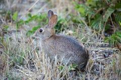 Raźny Cottontail królik - Sylvilagus Zdjęcie Stock