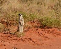 raźny meerkat Obraz Royalty Free