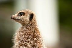Raźny meerkat patrzeje z lewej strony Obraz Stock