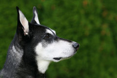 raźny pies Obraz Royalty Free