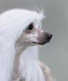 Raça com crista chinesa do cão Fotografia de Stock Royalty Free