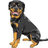 Raça de Rottweiler do cão do vetor Foto de Stock