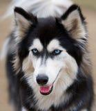 Raça do cão do cão de puxar trenós Siberian. Imagens de Stock Royalty Free