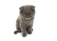 Raça reta escocesa do gatinho pequeno isolada no backgrou branco Imagens de Stock Royalty Free