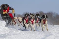 Raça sledding do cão Fotos de Stock