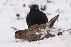 Raaf, κοινό κοράκι, Corvus corax στοκ εικόνες με δικαίωμα ελεύθερης χρήσης