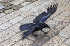 Raaf bij de Toren van Londen Royalty-vrije Stock Fotografie