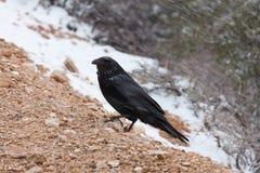 Raaf bij Nationaal Park Bryce Royalty-vrije Stock Afbeeldingen