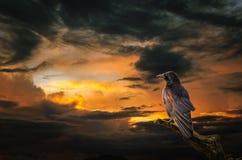 Raaf bij zonsondergang Royalty-vrije Stock Foto's