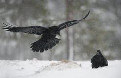 Raaf, Corvus corax Royalty-vrije Stock Afbeelding