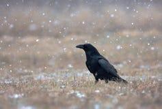 Raaf (Corvus corax) in een sneeuwstorm in de weide stock afbeeldingen