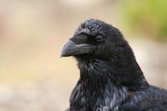 Raaf - Corvus corax, ogen, hoofd en bek stock afbeelding