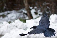 Raaf die boven sneeuw vliegen Stock Afbeelding