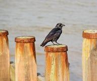 Raaf of kraai op golfbrekerpost Stock Foto's