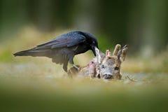 Raaf met dood Europees Roe Deer, karkas in de bos Zwarte vogel met hoofd op de bosweg Dier behavir, het voeden sce royalty-vrije stock fotografie