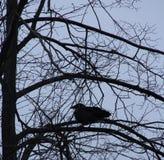 Raaf op een tak in de winter Stock Afbeeldingen