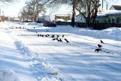 Raafvogels op de weg stock afbeeldingen