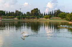 Raanana Park Lake. Pelican swimming in Raanana Park lake royalty free stock image