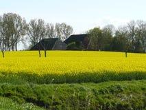 Raapzaad met landbouwbedrijf op het gebied Stock Fotografie