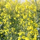 Raapzaadbloemen, Brassica napus Royalty-vrije Stock Fotografie