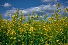 Raapzaadbloemen op een gebied onder bewolkte blauwe hemel royalty-vrije stock afbeeldingen