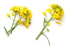 Raapzaadbloemen op Witte Achtergrond worden geïsoleerd die stock foto