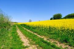 Raapzaadgebied in de lente Royalty-vrije Stock Afbeeldingen
