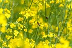 Raapzaadgebied en Bijen op Achtergrond Stock Afbeeldingen