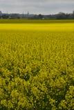 Raapzaadgebieden in Zuidelijk Zweden Royalty-vrije Stock Fotografie