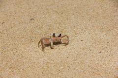 сrab. Crab on a sandy beach in Thailand Stock Photography