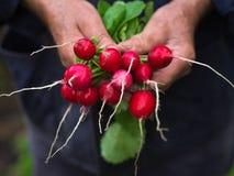 Rabanete colorido recentemente colhido, roxo nas mãos do fazendeiro Foto de Stock