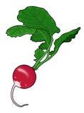 Rabanete, vegetal Fotografia de Stock